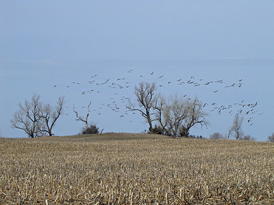 Kearney area 2010-Sandhill Cranes 6
