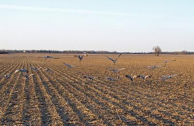 Kearney area 2010-Sandhill Cranes 5