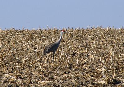 Kearney area 2010-Sandhill Cranes 2