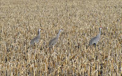 Kearney area 2010-Sandhill Cranes 3