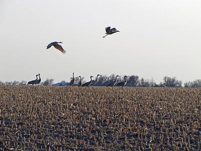 Kearney area 2010-Sandhill Cranes 4