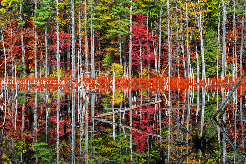 New England Fall Foliage in Swamp with Mirror Reflection, Burrows Brookside Sanctuary South Hampton NH