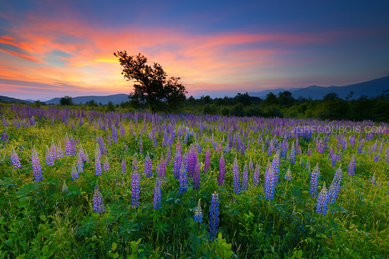 Sugar Hill New Hampshire Lupine Field at Sunrise with White Mountains