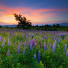 Sugar Hill Lupine Field at Sunrise with White Mountains, New Hampshire