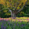 Sugar Hill New Hampshire Lupines and Gnarly Tree with Golden Light