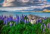 Lupins at Lake Takepo, NZ