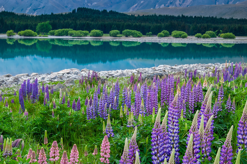 Lake Tekapo lupins early morning