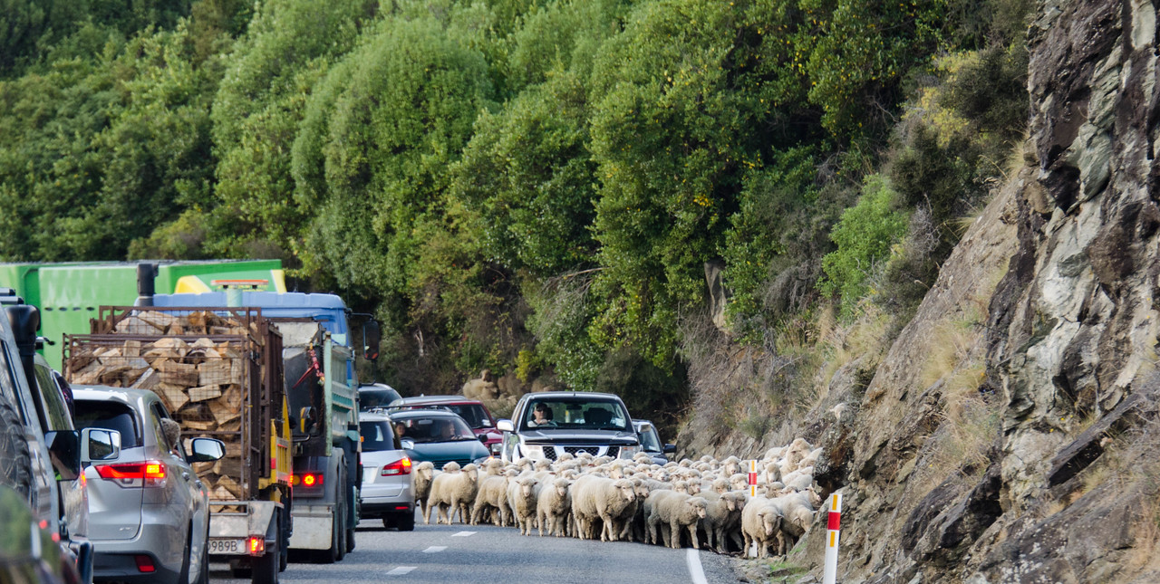 Sheep Stampede on the Side of the Road