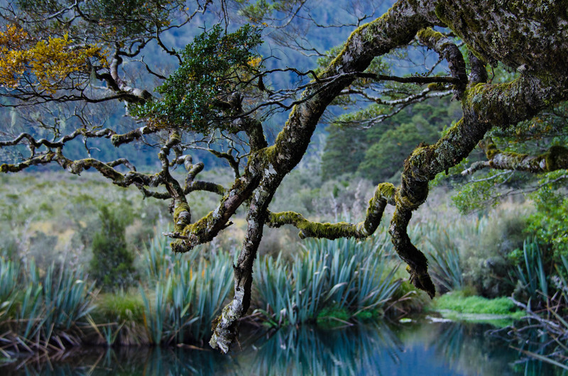 New Zealand Trees