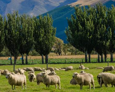 Sheep of New Zealand
