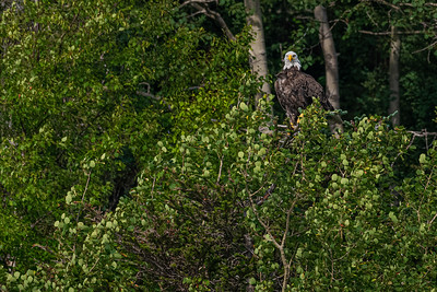 Bald Eagle, NL