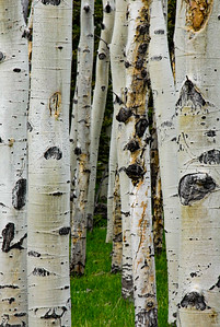 Aspen trees, Spanish Peaks, Colorado.