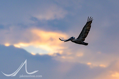 A pelican cruises through the skies near Rincon, Puerto Rico.