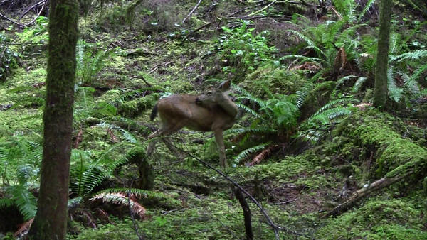 Deer on the Marymere Falls Hiking Trail, Olympic Peninsula National Park, Washington