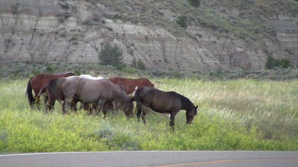 Wild Horses at Roosevelt National Park, North Dakota