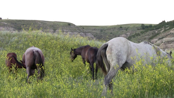 Wild Horses at Roosevelt National Park, North Dakota-