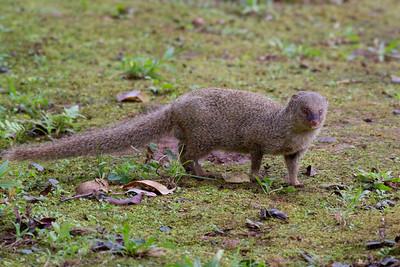 Mongoose at HoOmaluhia Park IMG_0479 rev 1
