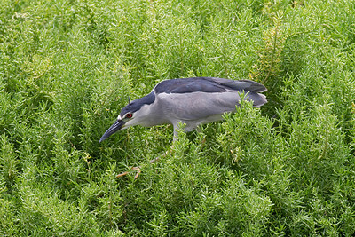 Black-crowned Night-Heron IMG_0306