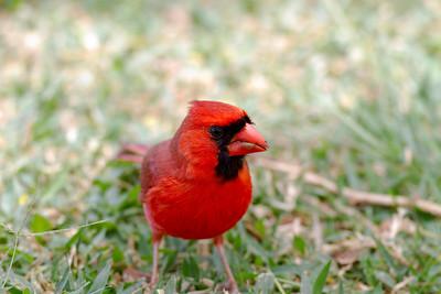 Northern Cardinal IMG_0291