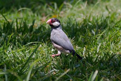 Java Sparrow IMG_0908 rev 1