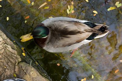 Duck IMG_2147