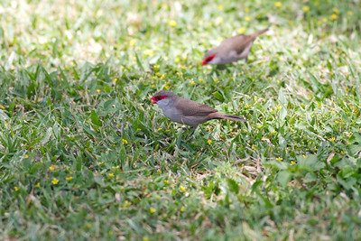 Common Waxbill IMG_0302