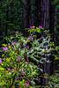USA; California; Cresent City; Del Norte Redwoods State Park
