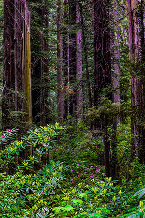 USA; California; Cresent City; Del Norte Redwoods State Park