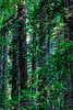 Redwoods National Park; USA; California; Jedediah Smith Redwoods State Park; Cresent City