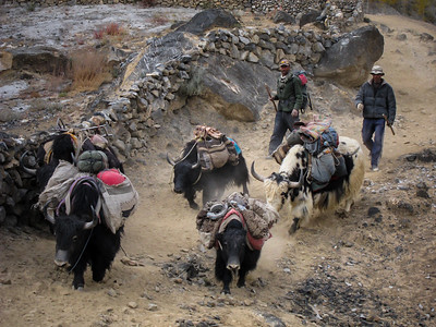 Yaks of Shimshal