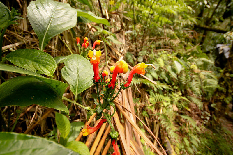 Tiger Lillies, Volcan Baru Hike