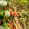Tiger Lillies, Volcan Baru Hike