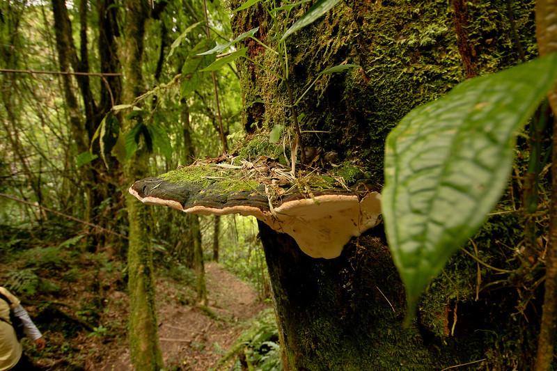 Tree Mushroom?  Volcan Baru Hike