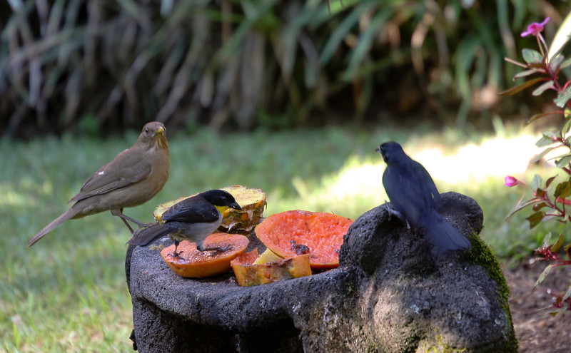 Each morning the staff would put out fruit rinds for the birds