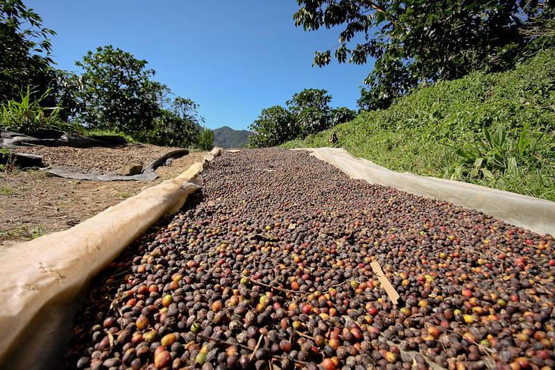 Kotowa Coffee Tour - Beans drying in the sun