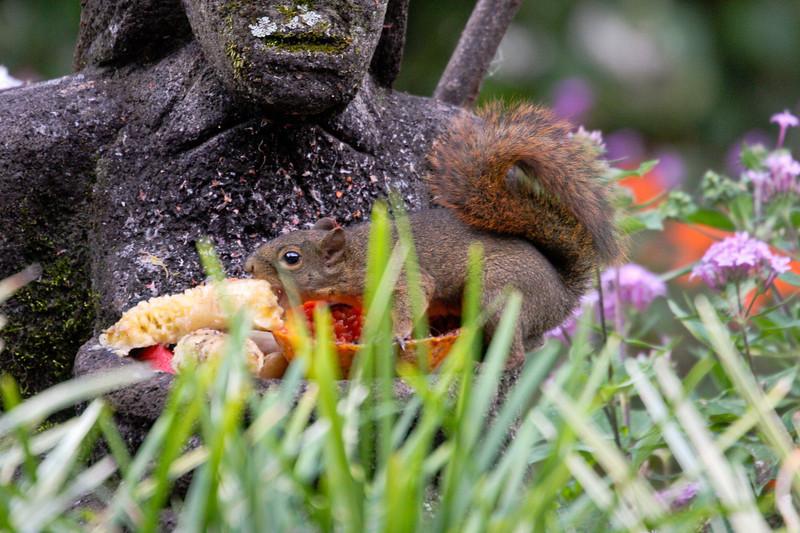 Garden Inn Squirrel, stealing the fruit