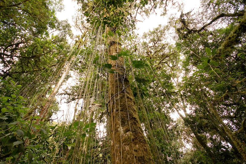 Tree Vines, Volcan Baru Hike