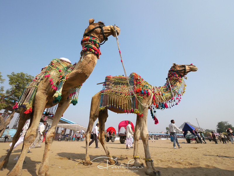 Well decorated camels to attract customer for a ride.