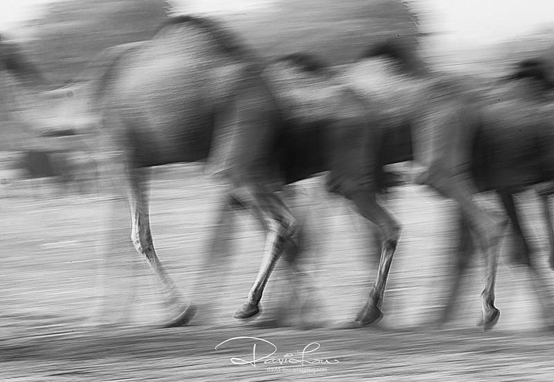 Running camels.