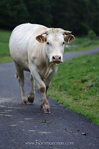 Cow on D113 near Payolle