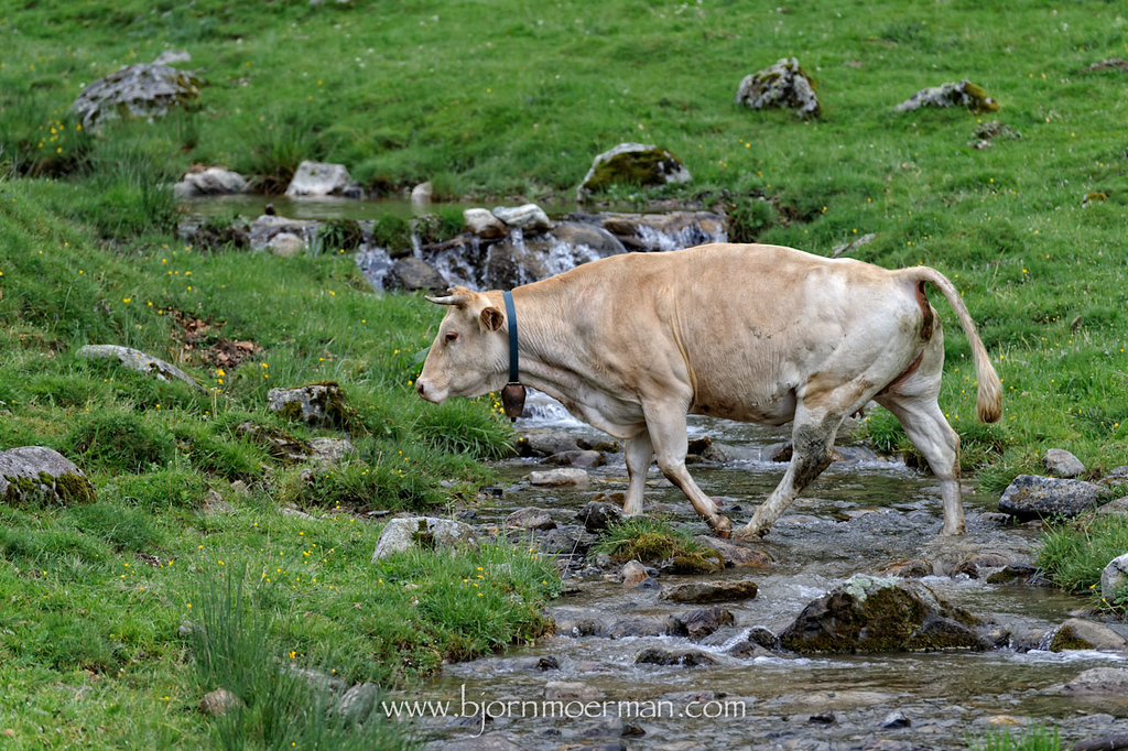 Cow crossing small river on D113 near Payolle
