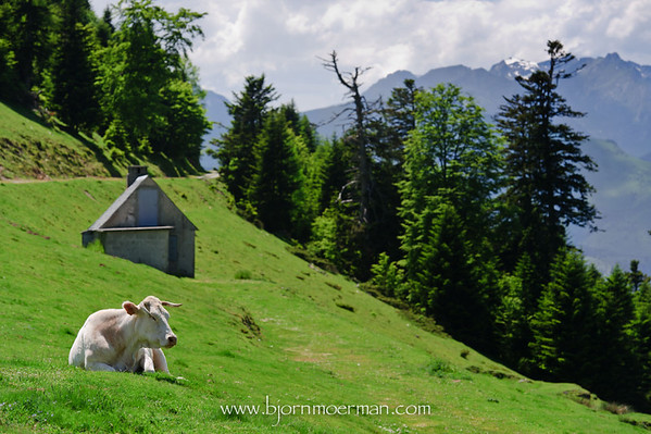 Lonely cow at Col 'd Aspin