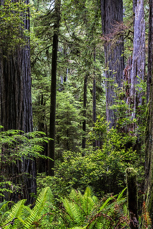 Boy Scout Tiial; California; Redwoods State Park; USA