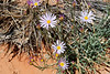 Daisies?  Not sure but either way it's always amazing to see wildflowers in the desert.