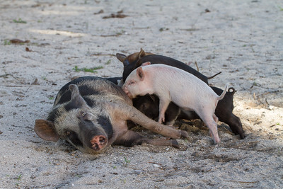 Semi- wild pigs