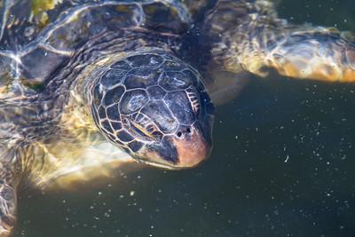 Giant turtle's head