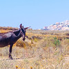 Donkey-out of town, Santorini, Greece