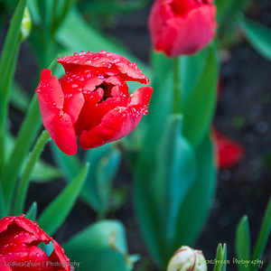 Spring Tulips from Capturing Savannah Photography Tour