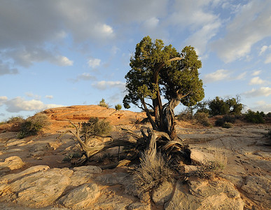 Juniper at  Canyonlands National Park