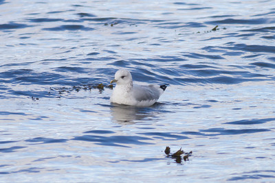 Common Gull IMG_9143